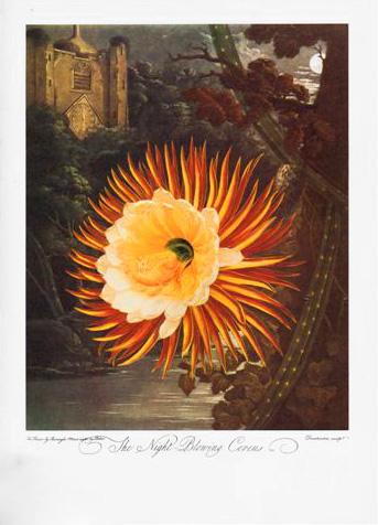 Moonflower - Selenicereus Grandiflorus image