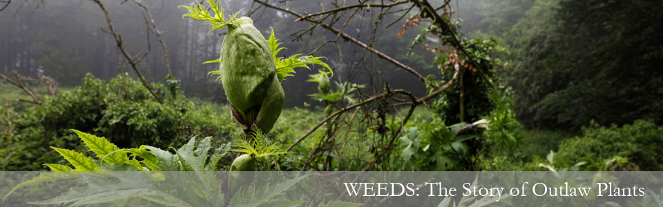 Weeds front page banner image